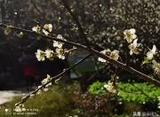 陆河(螺洞)世外梅园梅花节系列活动开幕