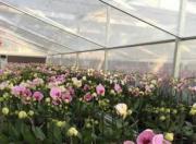 海丰县黄羌镇:打造鲜花种殖产业