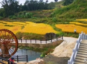 陆河县洋岭村:金黄色的梯田正美