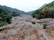 海丰黄羌林场的梅花火了